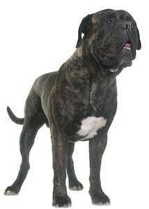 Pit Bulls - Breeds & Pictures - Pitbullinfo org