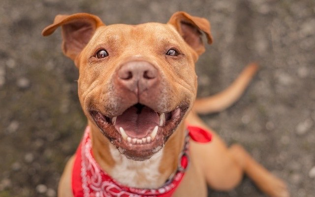 Pitbullinfo org - Pit Bulls - Facts, Information, and